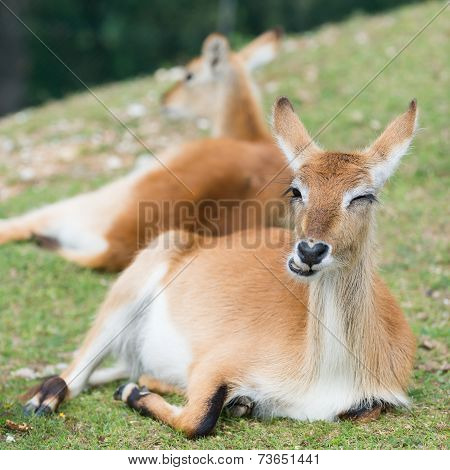young defassa waterbuck deer
