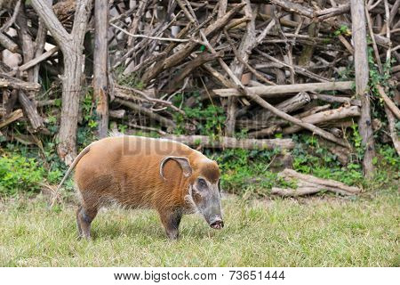 African bush pig eating grass