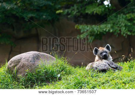 single brown hyena lying next rock