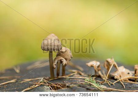 Mushrooms On Old Stump