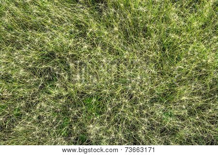 Natural Texture. Bristly Grass