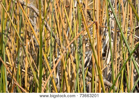 Natural Texture. Bulrush Stems