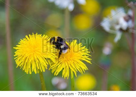 Natural Background. Bumblebee On A Dandelion