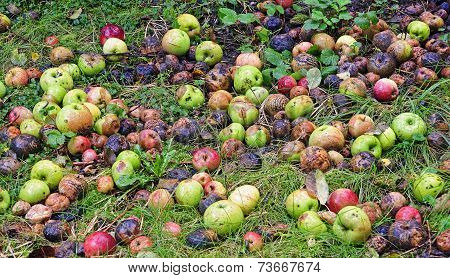 Rotting Apples In Garden
