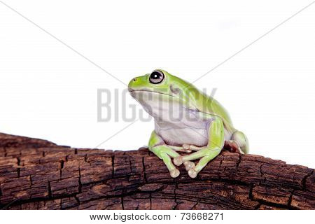 Australian Green Tree Frog on white background