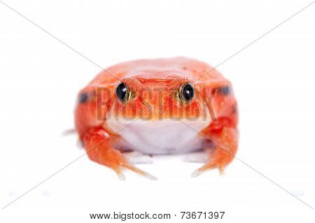 Madagascar tomato Frog isolated on white