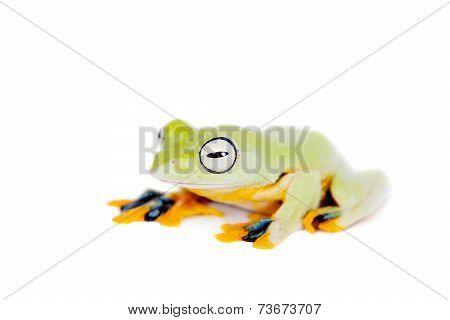 Reinwardt's flying tree frog isolated on white