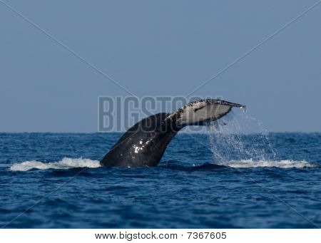Humback Whale Tail wtih Water Streaks