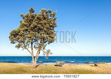 The Pohutukawa Tree And Bench On The Beach With Ocean In Clear Sky Day, In New Zealand.