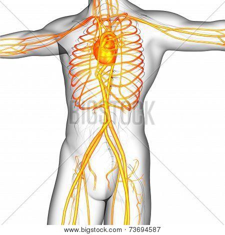 3D Render Medical Illustration Of The Human Vascular System