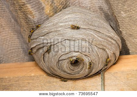Wasp's nest closeup