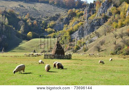 Flock Of Merino Sheep Pasture At Autumn