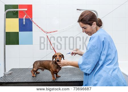 Woman In Red Dachshund Canine Hairdresser