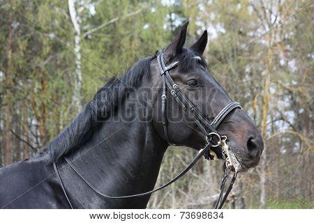 Portrait Of Black Sport Horse With Bridle