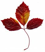 picture of creeper  - Red autumn virginia creeper leaves on white background - JPG
