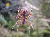 stock photo of orbs  - Orb web spider still consuming its last catch in the center of its web. ** Note: Shallow depth of field - JPG
