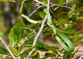 foto of harmless snakes  - A Rough Green Snake crawling on a tree - JPG
