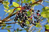 stock photo of elderberry  - Growing elderberry fruits on a background of blue sky - JPG