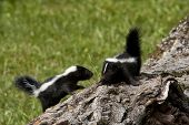 stock photo of skunks  - Two baby skunks climbing on a log - JPG