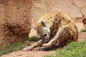 picture of hyenas  - a beautiful great hyena on the sabanna - JPG