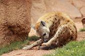 pic of hyenas  - a beautiful great hyena on the sabanna - JPG