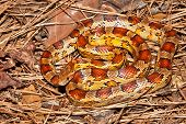 foto of pine-needle  - A Corn Snake coiled on pine needles - JPG