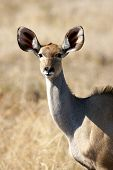 stock photo of greater  - The greater kudu is a woodland antelope found throughout eastern and southern Africa - JPG