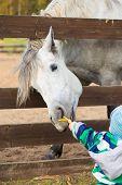 foto of feeding horse  - Child feeding a hungry horse on farm - JPG