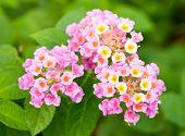 foto of lantana  - Close up of pink lantana flower in green garden - JPG