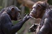 pic of chimp  - closeup portrait of two chimpanzees interacting with each other - JPG
