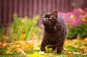 pic of portrait british shorthair cat  - brown british shorthair purebred cat walking outdoors - JPG