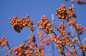 image of mountain-ash  - Red Mountain Ash with Blue Sky Background Closeup - JPG