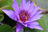 image of raindrops  - Water Lily flower with raindrop - JPG