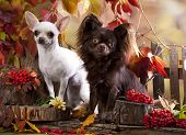 portrait of cute purebred chihuahuas  poster
