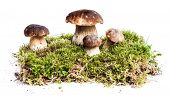 stock photo of boletus edulis  - Four mushrooms Boletus edulis  - JPG