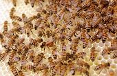 image of egg-laying  - Close up selective focus of a queen bee laying eggs while being attended by worker bees on a new fresh clean frame - JPG