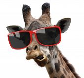 image of snob  - A giraffe with very stylish red sunglasses making a funny face - JPG
