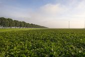 picture of turnips  - Turnip growing on a field at fall - JPG