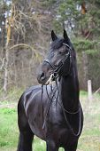 stock photo of bridle  - Portrait of black sport horse with leather bridle