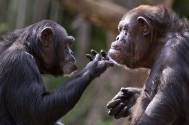 foto of chimp  - closeup portrait of two chimpanzees interacting with each other - JPG