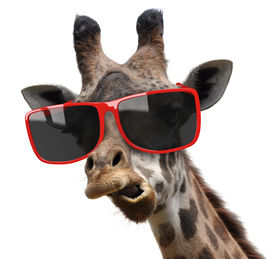 picture of snob  - A giraffe with very stylish red sunglasses making a funny face - JPG