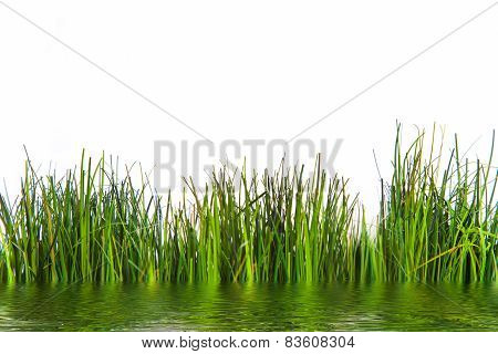Fresh Green Grasses Growing At The Water