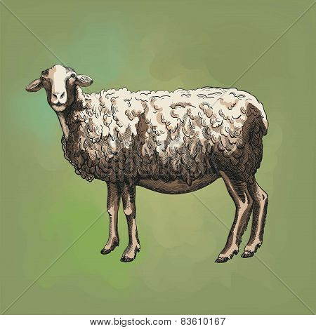 sheep breeding