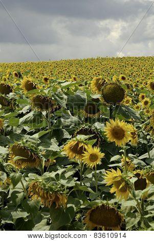 flowering sunflowers field