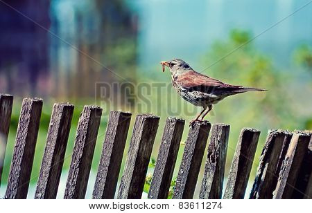 Thrush With Earthworm  On The Fence
