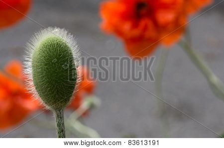 Poppy bud with raindrop