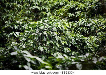Coffee Plants On Plantation In Costa Rica