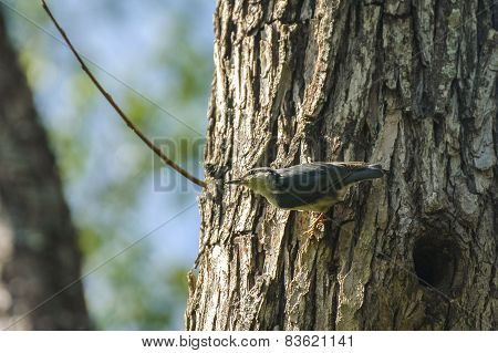 Nuthatch, Sitta europaea, single bird on tree