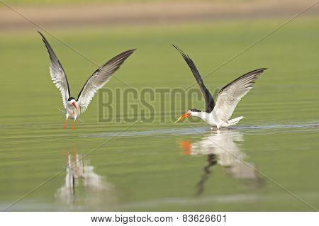 Indian Skimmer Chasing