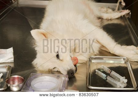 Dog Under Anesthetic ,prepared For Sterilization  Operation